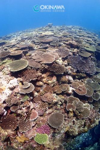 恩納村 サンゴ