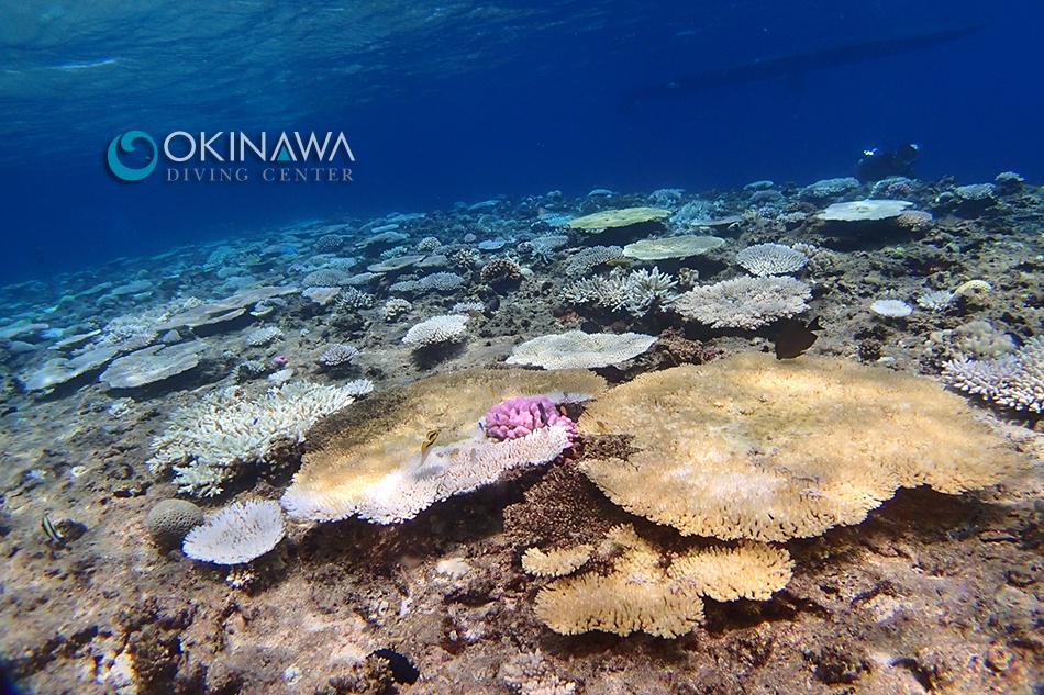 白化サンゴ