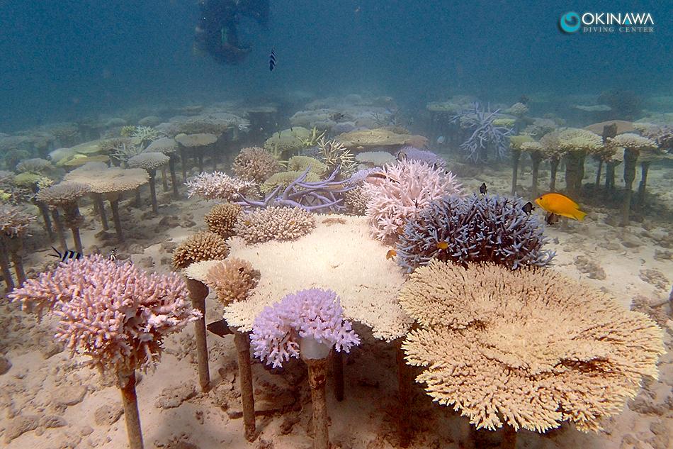 サンゴ養殖場