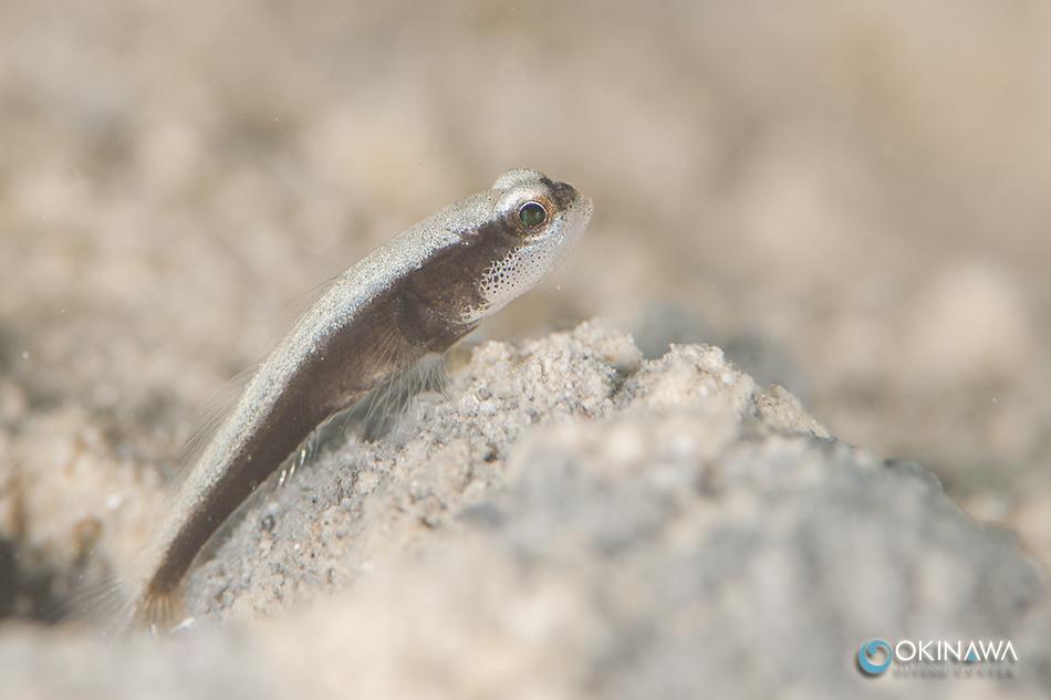 クロオビハゼ 幼魚